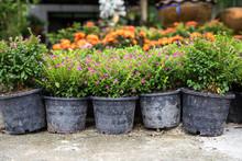 Sale Of Garden Flowers In Pots