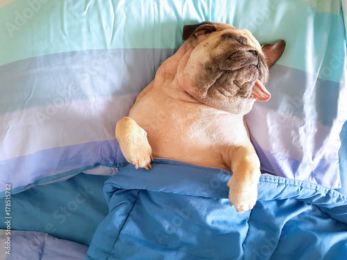 Fototapeta Cute pug dog sleep rest in the bed, wrap with blanket and tongue sticking out in the lazy time obraz