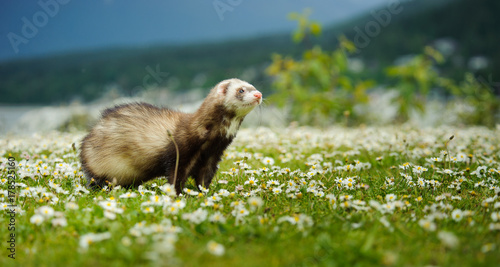 Valokuva  Ferret outdoor portrait in field of spring flowers