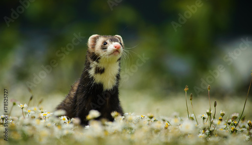 Ferret outdoor portrait in field of spring flowers Fototapet