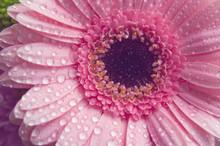 Pink Gerbera Flower. Closeup