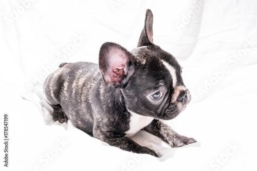 Foto op Plexiglas Franse bulldog Black Brindle French bulldog Puppy