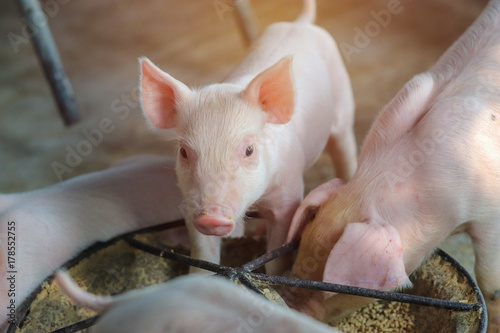 Piglet waiting feed in the farm Fotobehang