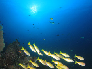 Fototapeta na wymiar Underwater fish on coral reef in ocean