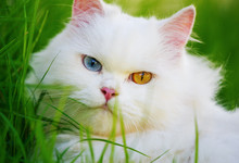 White Persian Cat With 2 Diffe...