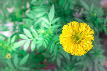 This Marigold Yellow Flower Wi...