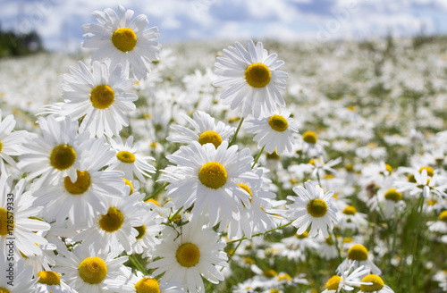 white-field-of-daisies-on-a-windy-day-in-summer-blue-sky-white-clouds