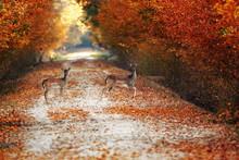 Fallow Deer Does On Rural Road...