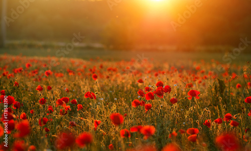 Foto op Canvas Poppy poppies