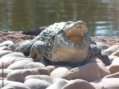 Foto op Plexiglas Krokodil crocodiles du nil au Maroc