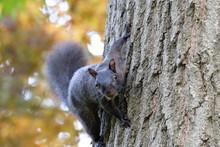 Black Squirrel On A Tree