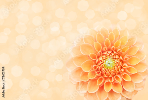 Fotografie, Obraz  Summer blossoming delicate dahlia, blooming flowers festive background, pastel a