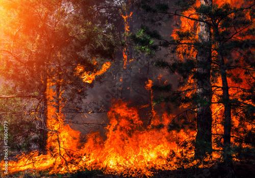 Valokuva  wildfire at sunset, burning pine forest .