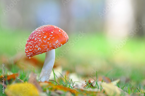 Cluster or Fly Agaric mushroom in grass Wallpaper Mural