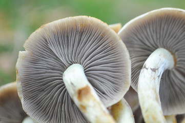 Two mushrooms with blurred background. Mushroom gills, look from bottom