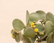 Yellow Cactus Flower Opuntia F...
