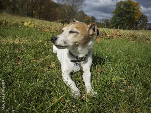 Fotografie, Obraz  Little Jack Russell Terrier Dozing in the Sun