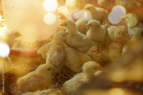 Photo Little chicks in incubator