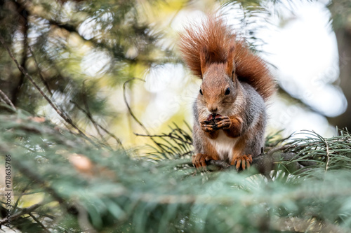 Printed kitchen splashbacks funny little squirrel eating nut on blurred fir trees background