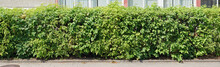 A Long Row Of Decorative Green Bushes Grows Along The Sidewalk Near The Wall Of The House