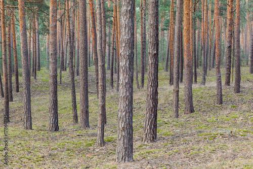 Poster Forets Kiefernbäume Wald