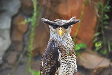 The Eagle Owl (Bubo Sumatranus)