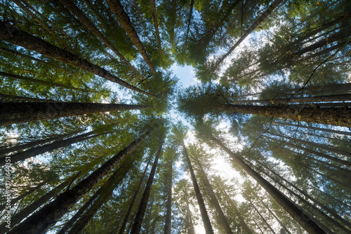 Fényképezés  Towering Fir Trees in Oregon Forest State Park USA America