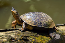 A River Turtle On A Log In Nat...