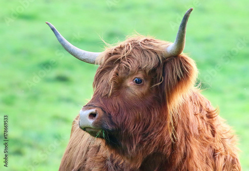 Photo sur Toile Vache de Montagne Highland Cattle