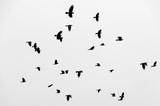 Stado kruków ptaków latających na niebie. Czarno-białe zdjęcie. - 178675191