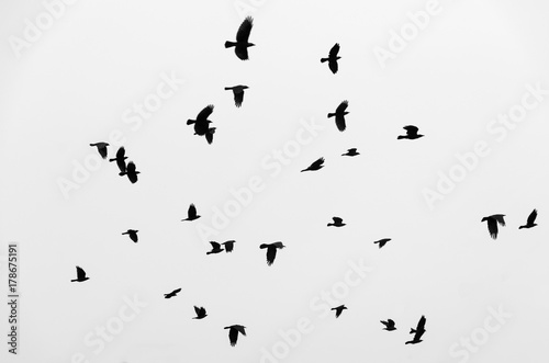 Fotografía  Flock of birds ravens flying in the sky. Black and white photo.