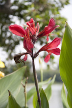 Dark Pink Canna Flower On The Sunlight And Background Lake With Green Tree. Canna Lily Is A Tropical American Plant With Bright Flowers And Ornamental Strap Like Leaves.