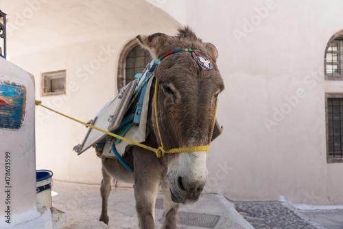 Fototapety, obrazy: Esel in Santorin