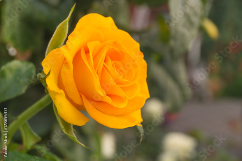 yellow-tea-rose-grows-in-the-garden-at-sunny-day