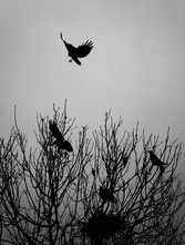 Crow Landing In A Tree With Pe...