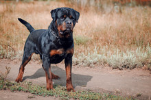 Portrait Of The Big Rottweiler...