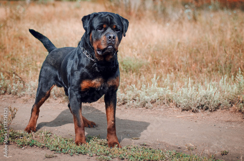 portrait of the big rottweiler dog Canvas Print