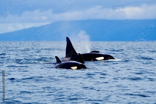 Orca family visiting the Azores Canvas Print