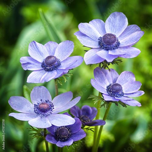 Fiori Azzurri.Fiori Azzurri Buy This Stock Photo And Explore Similar Images At