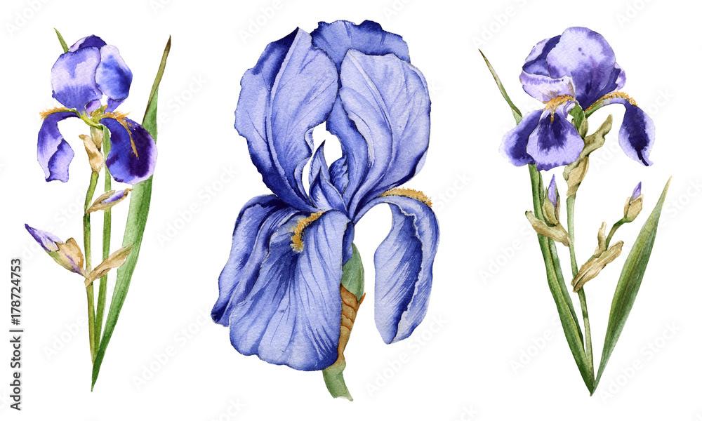 Fototapeta Iris flower. Isolated on white background.
