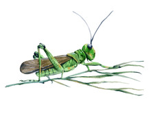 Grasshopper In The Grass. Isolated On White Background.