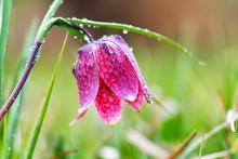 Endangered Wild Chess Flower O...