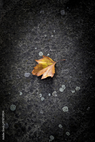 Staande foto Paardebloemen en water Single fallen golden brown Sycamore leaf on a lichen covered concrete path signifies the fall and start of the Autumn season