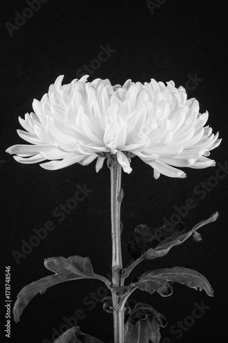 Fototapety, obrazy: Black and white cremone chrysanthemum flower