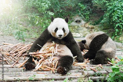 Stickers pour portes Panda Giant Panda eats bamboo.