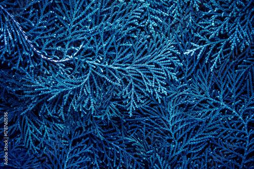 Foto  fresh blue pine leaves , Oriental Arborvitae, Thuja orientalis (also known as P