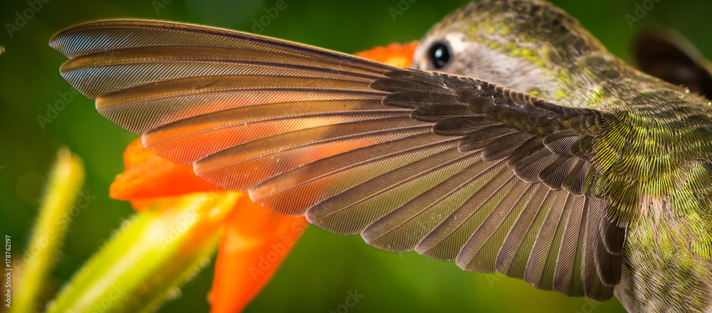 Fototapety, obrazy: The perfect left wing of a hummingbird