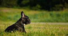 French Bulldog Puppy Outdoor Portrait Lying In Green Grass Field