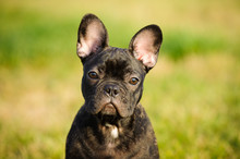 French Bulldog Puppy Outdoor P...