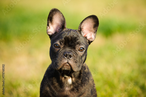 Fotobehang Franse bulldog French Bulldog puppy outdoor portrait against grass